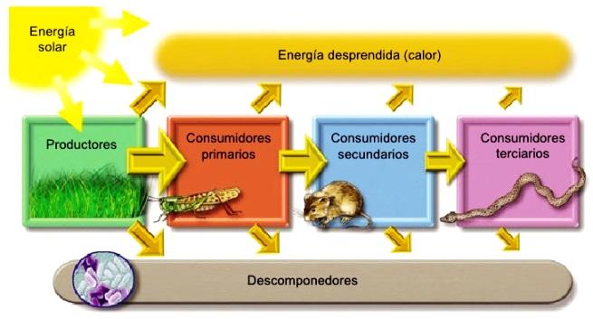 ¿Cómo fluye la energía en un ecosistema?